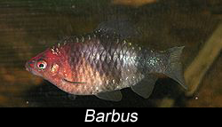 un barbus (poisson)